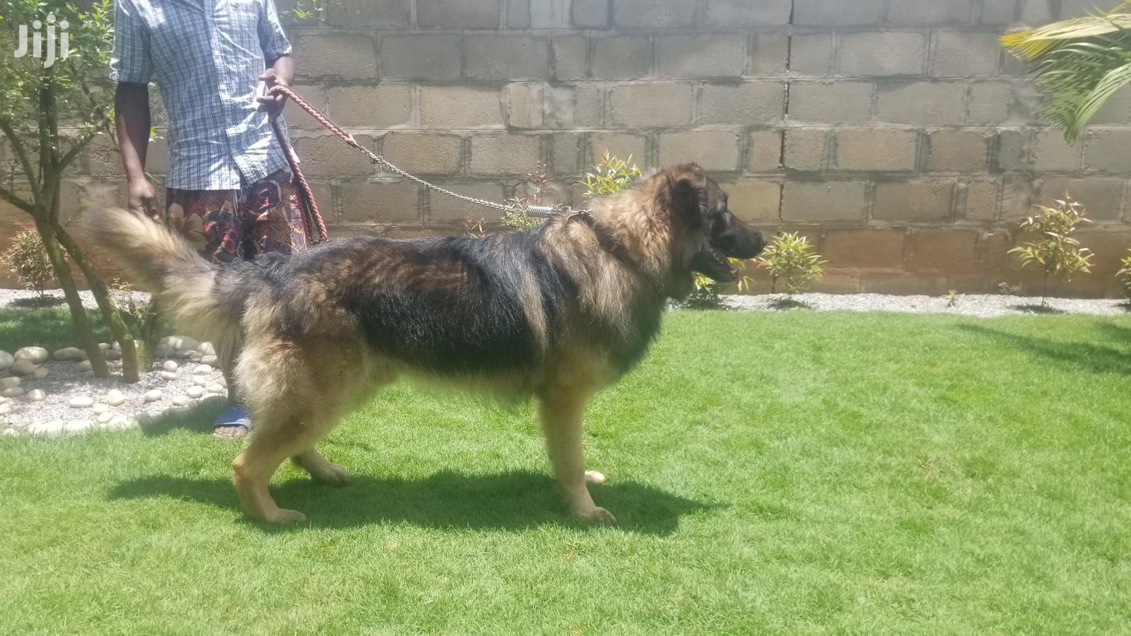 Archive: Adult Male Purebred German Shepherd Dog