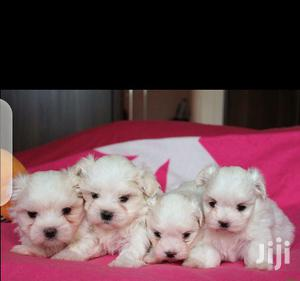 Baby Female Purebred Maltese   Dogs & Puppies for sale in Central Region, Kampala