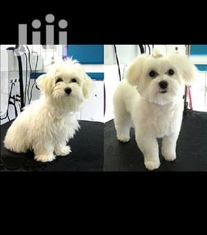 Baby Male Purebred Maltese   Dogs & Puppies for sale in Central Region, Kampala