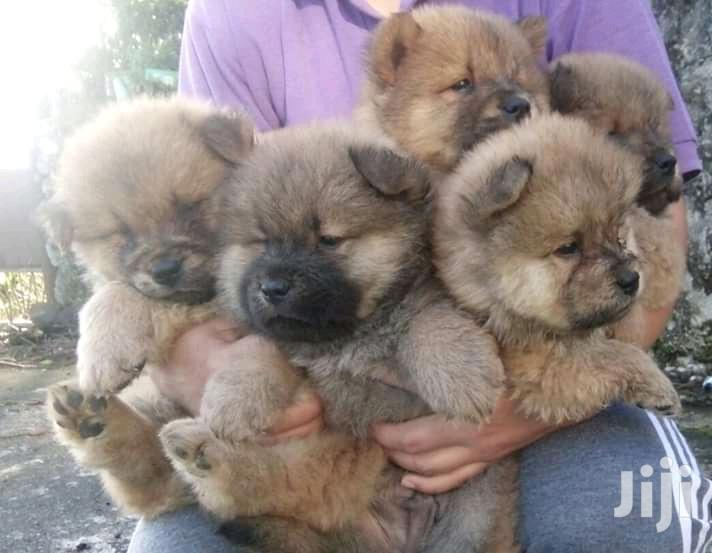 Archive: Young Male Purebred Chow Chow