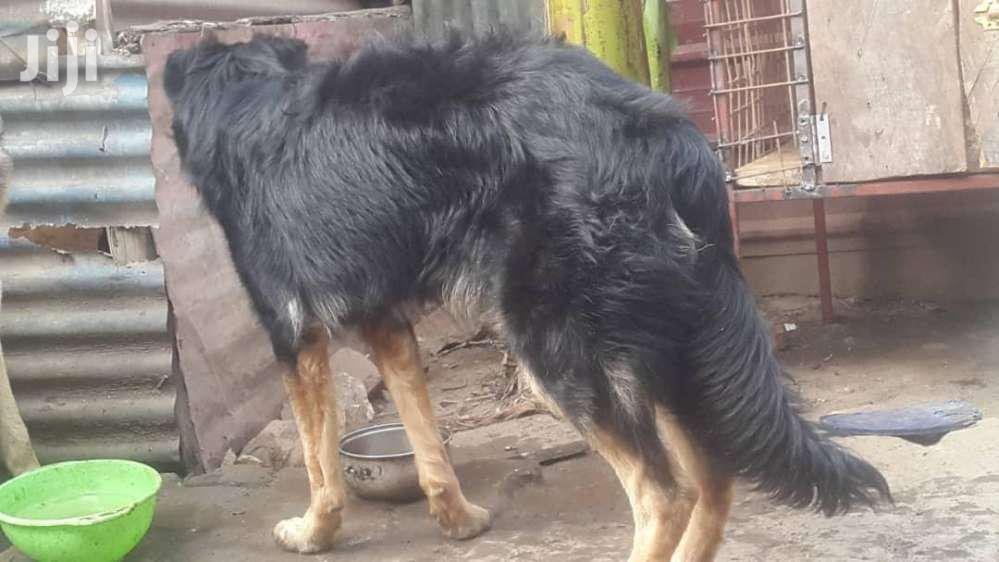 Active 9 Months Old German Sherperd | Dogs & Puppies for sale in Kampala, Central Region, Uganda