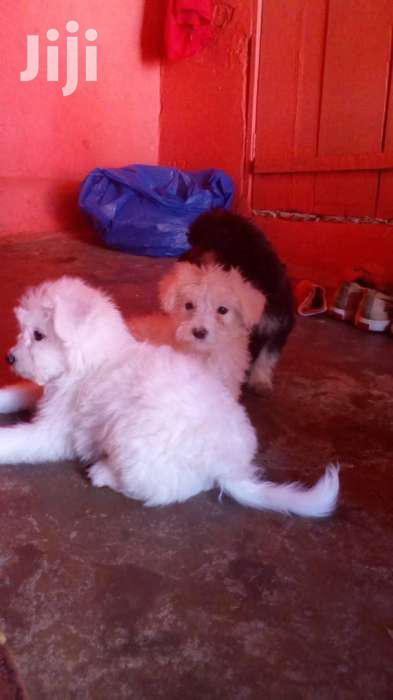 Maltese Cute And Lovely Puppies