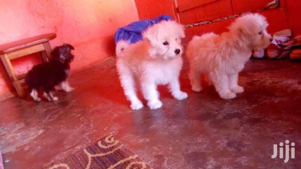 Maltese Cute And Lovely Puppies   Dogs & Puppies for sale in Kisoro, Western Region, Uganda