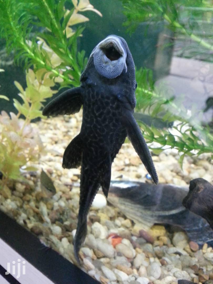 Aqaurium Cleaner Fish