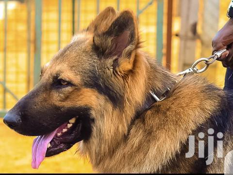 Adult Male Purebred German Shepherd Dog