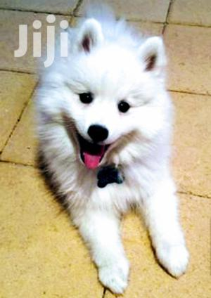 Baby Male Purebred Japanese Spitz   Dogs & Puppies for sale in Central Region, Kampala