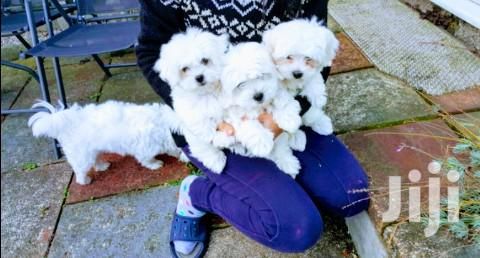 Baby Female Purebred Maltese | Dogs & Puppies for sale in Kampala, Central Region, Uganda