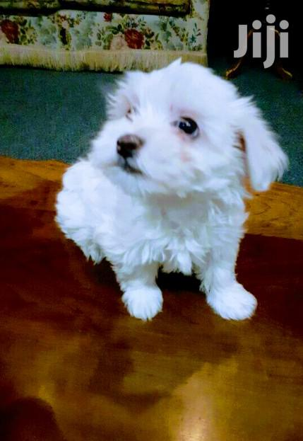 Young Female Purebred Maltese   Dogs & Puppies for sale in Kampala, Central Region, Uganda