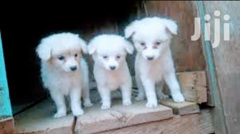 Young Male Purebred Japanese Spitz | Dogs & Puppies for sale in Kampala, Central Region, Uganda