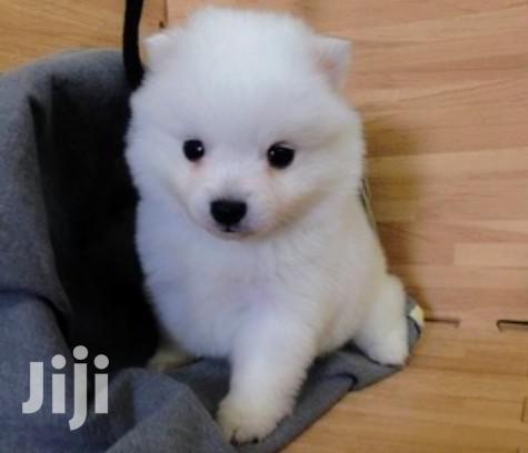 Baby Female Purebred Japanese Spitz