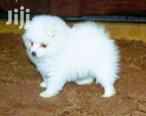 Baby Female Purebred Japanese Spitz | Dogs & Puppies for sale in Kampala, Central Region, Uganda