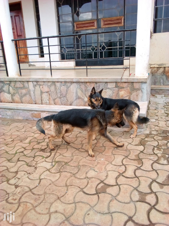 Senior Female Purebred German Shepherd Dog   Dogs & Puppies for sale in Kampala, Central Region, Uganda