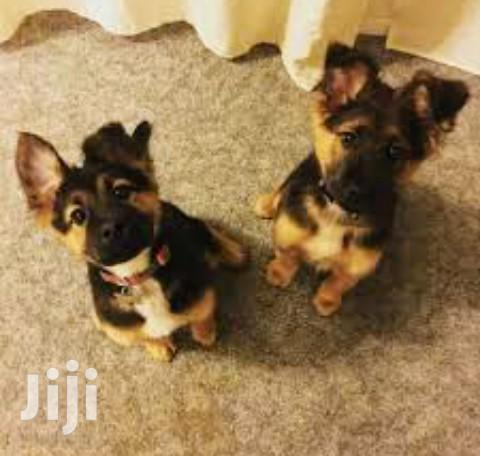 Baby Male Purebred German Shepherd Dog | Dogs & Puppies for sale in Kampala, Central Region, Uganda