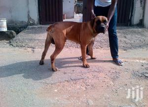 Young Male Purebred Boerboel   Dogs & Puppies for sale in Central Region, Kampala