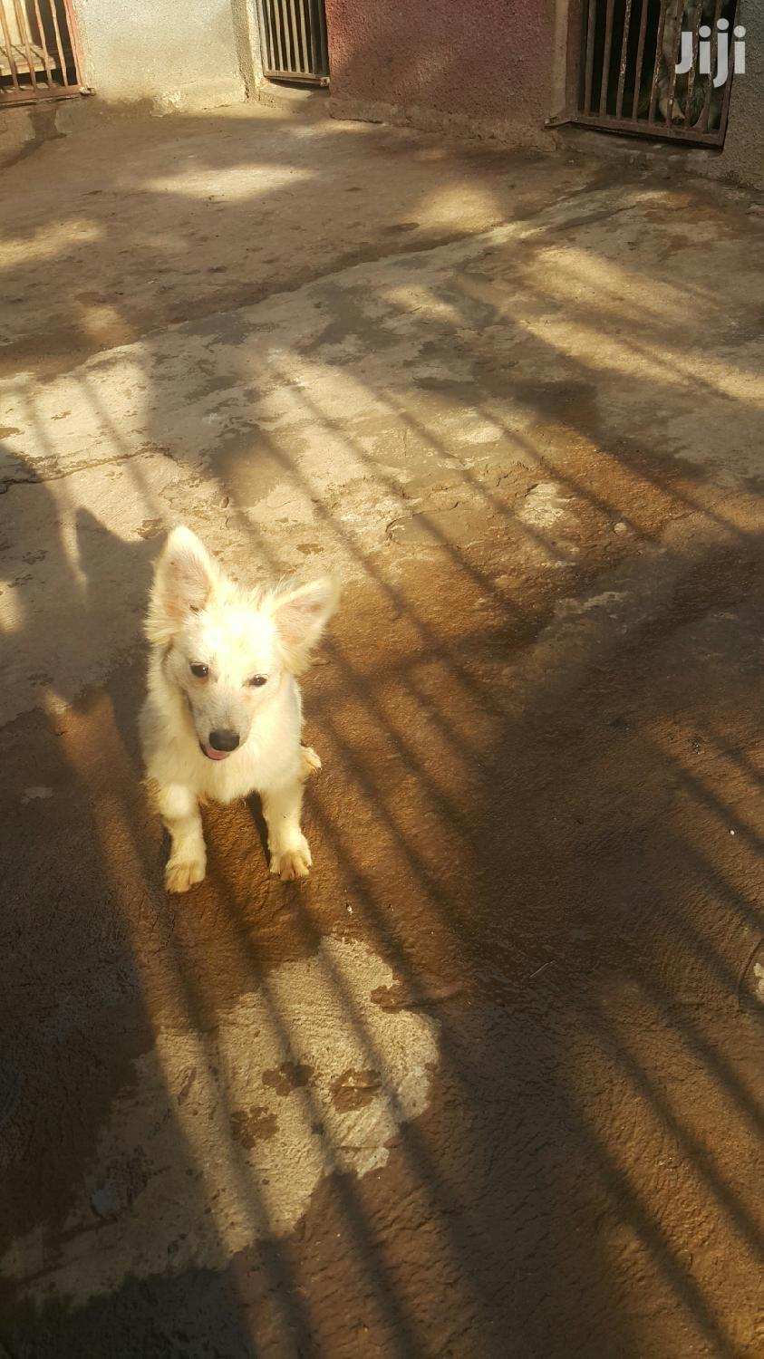 Archive: Adult Male Purebred Japanese Spitz