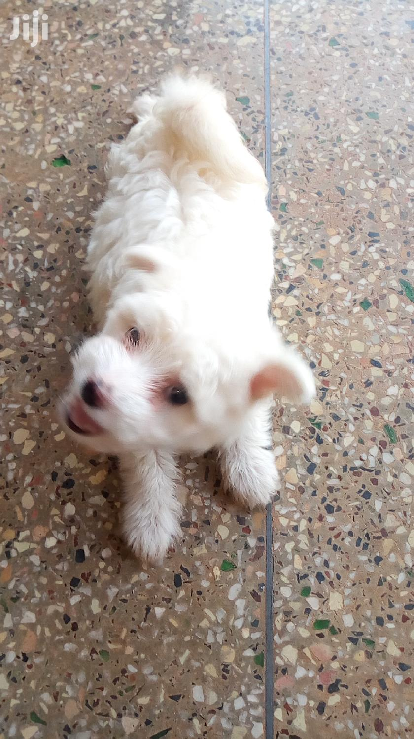 Archive: Senior Male Purebred Maltese