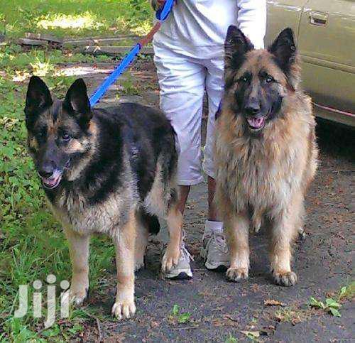 Pure German Sherperd Dogs On Sale