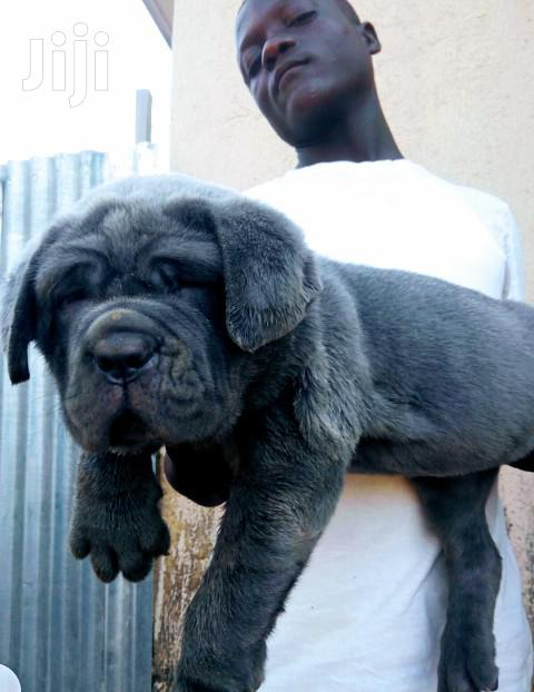 Young Female Purebred Bullmastiff