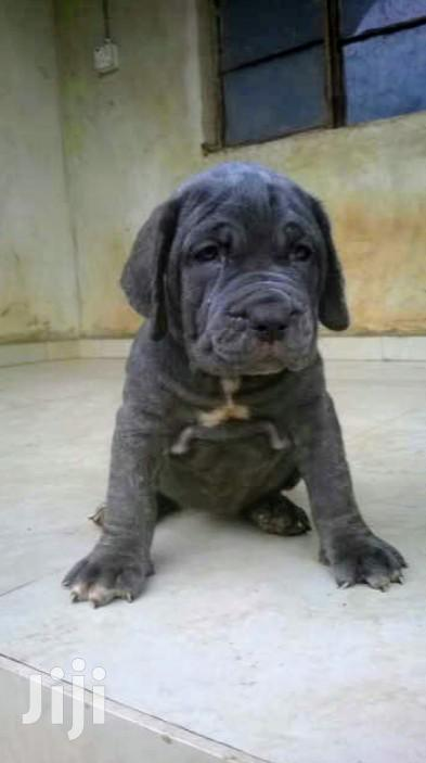 Young Male Purebred Bullmastiff
