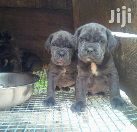 Young Male Purebred Mastiff | Dogs & Puppies for sale in Kampala, Central Region, Uganda