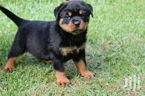 Adult Female Purebred Rottweiler   Dogs & Puppies for sale in Central Region, Kampala