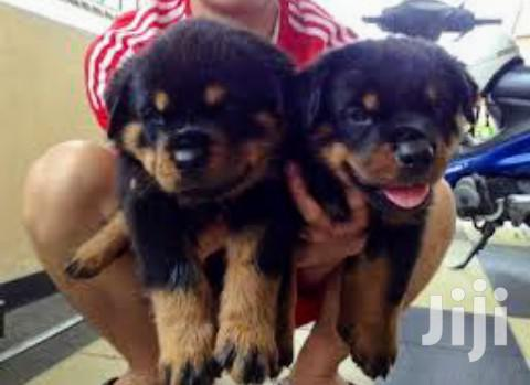 Baby Female Purebred Rottweiler | Dogs & Puppies for sale in Kampala, Central Region, Uganda