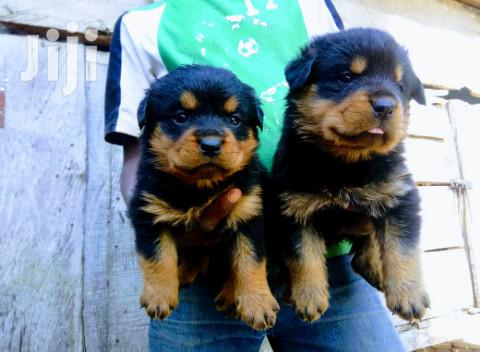 Young Male Purebred Rottweiler