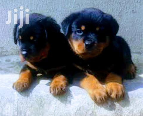 Young Male Purebred Rottweiler | Dogs & Puppies for sale in Kampala, Central Region, Uganda