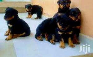 Baby Female Purebred Rottweiler   Dogs & Puppies for sale in Central Region, Kampala