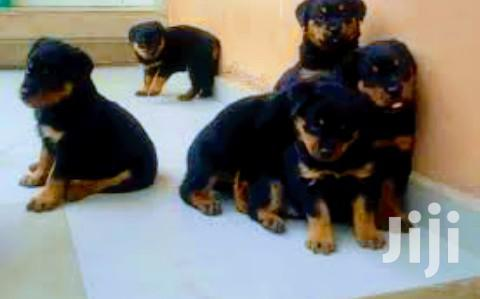 Baby Female Purebred Rottweiler