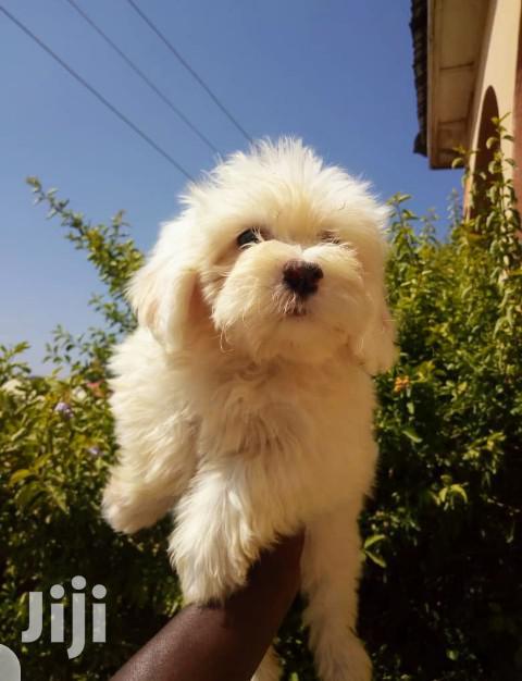 Baby Male Purebred Maltese Shih Tzu | Dogs & Puppies for sale in Kampala, Central Region, Uganda