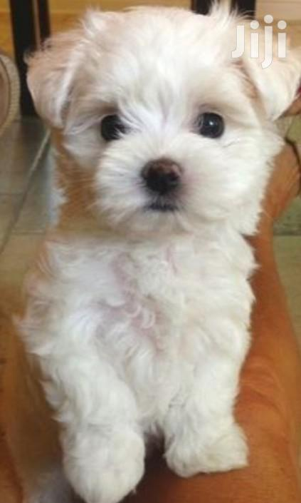 Young Male Purebred Maltese Shih Tzu | Dogs & Puppies for sale in Kampala, Central Region, Uganda