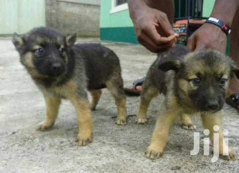 Baby Male Purebred German Shepherd Dog   Dogs & Puppies for sale in Kampala, Central Region, Uganda
