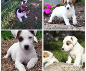 Young Male Mixed Breed Jack Russell Terrier   Dogs & Puppies for sale in Central Region, Kampala