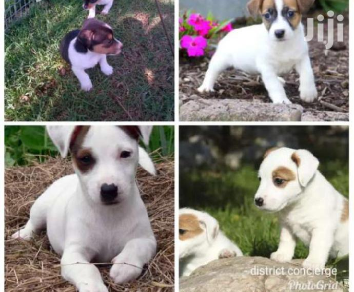 Young Male Mixed Breed Jack Russell Terrier