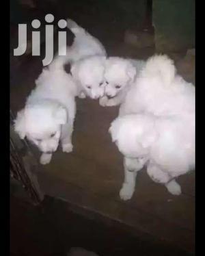 Baby Female Purebred Coton De Tulear   Dogs & Puppies for sale in Central Region, Kampala