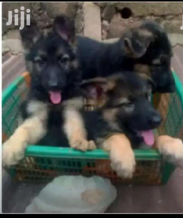 Archive: Young Female Purebred German Shepherd Dog