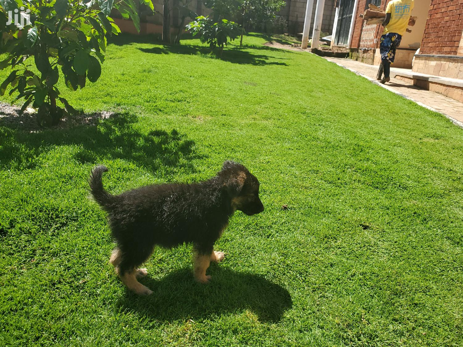 Young Male Purebred German Shepherd Dog   Dogs & Puppies for sale in Kampala, Central Region, Uganda