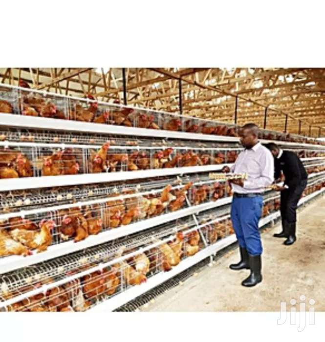 Staunch Chicken Cages 3 Layer