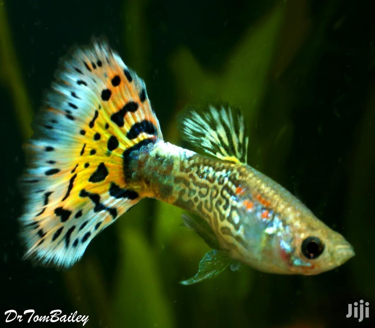 The Guppy Fish King | Fish for sale in Mukono, Central Region, Uganda