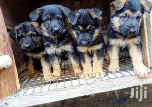 Baby Male Purebred German Shepherd Dog | Dogs & Puppies for sale in Central Region, Kampala