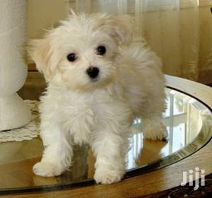 Young Male Purebred Maltese Shih Tzu | Dogs & Puppies for sale in Central Region, Kampala