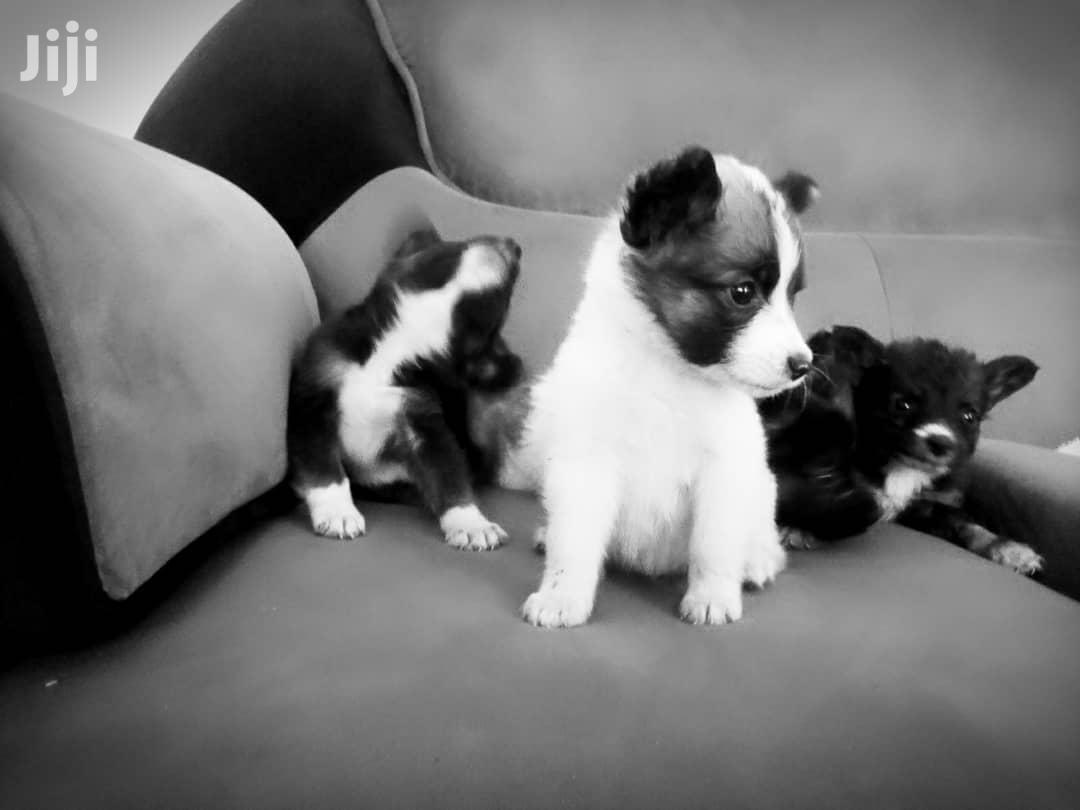 Baby Female Mixed Breed Maltese   Dogs & Puppies for sale in Kampala, Central Region, Uganda