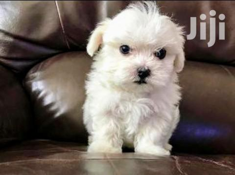 Young Male Purebred Maltese   Dogs & Puppies for sale in Kampala, Central Region, Uganda