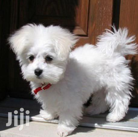 Archive: Young Female Purebred Maltese