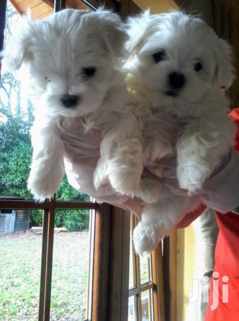 Young Female Purebred Maltese | Dogs & Puppies for sale in Kampala, Central Region, Uganda