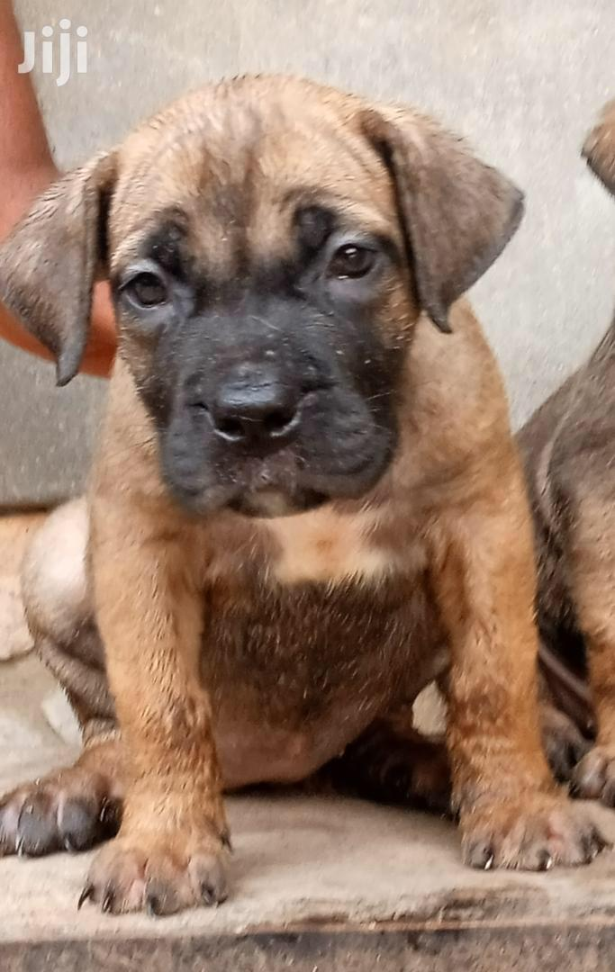 Young Male Purebred Boerboel   Dogs & Puppies for sale in Kampala, Central Region, Uganda