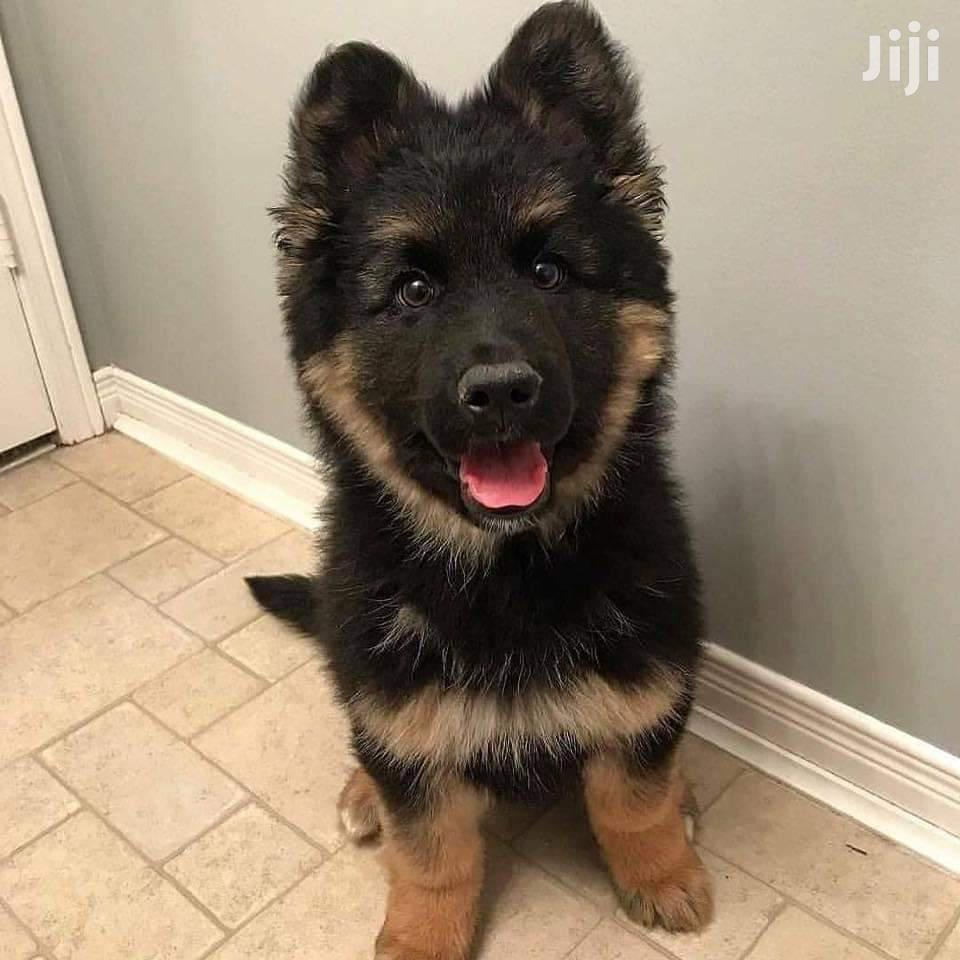 Young Male Purebred German Shepherd