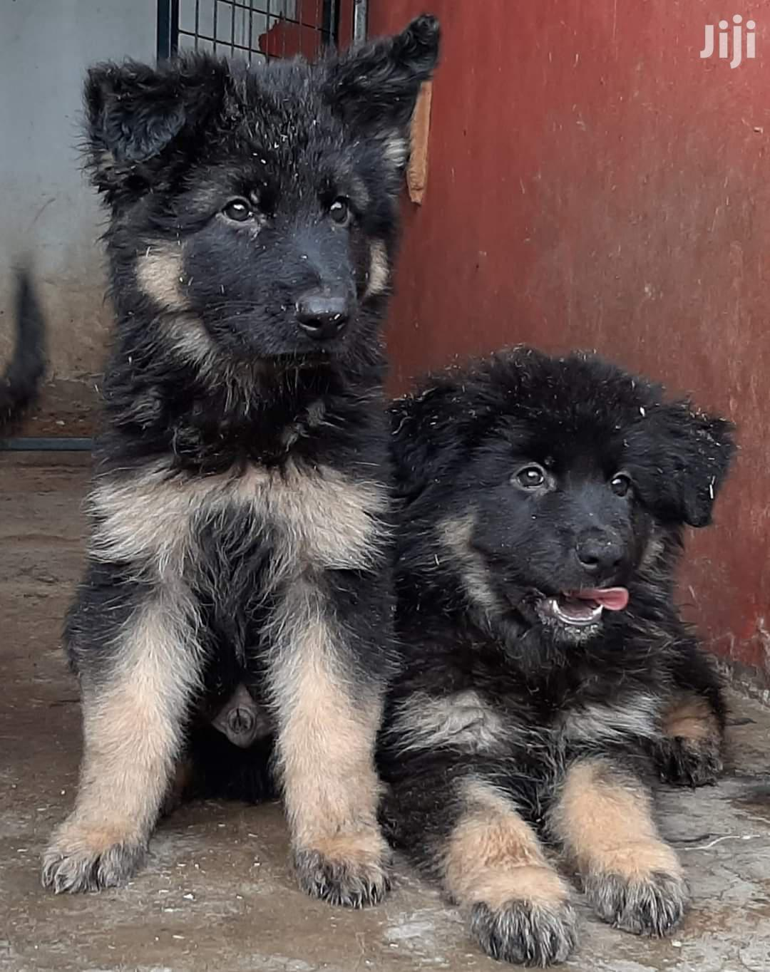 Young Male Purebred German Shepherd | Dogs & Puppies for sale in Kampala, Central Region, Uganda