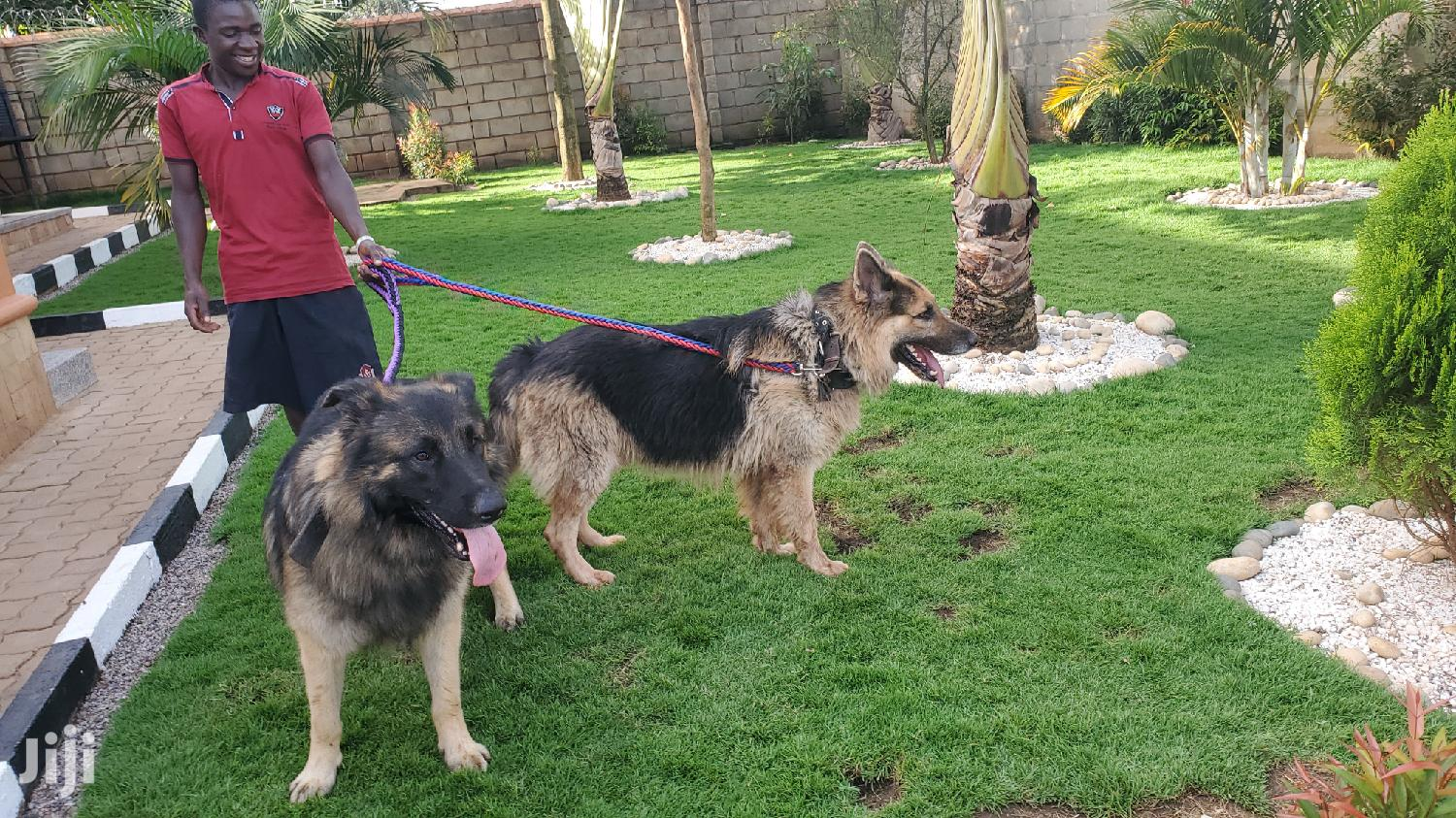 Adult Male Purebred German Shepherd Dog | Dogs & Puppies for sale in Kampala, Central Region, Uganda